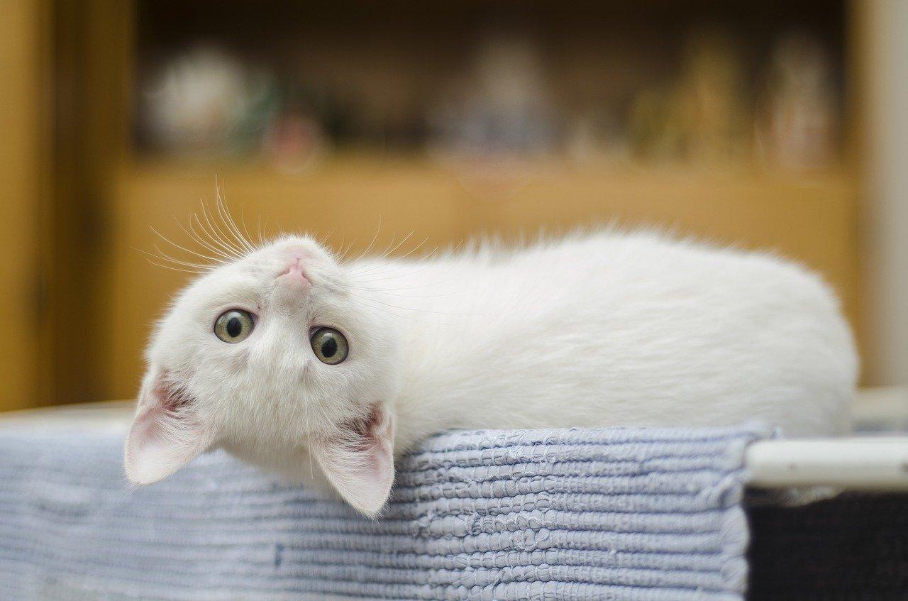 Acné du chat