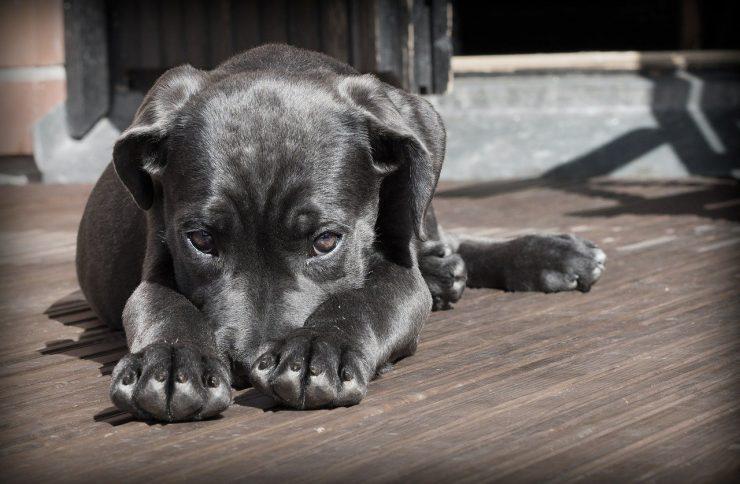 maladie de carré chien