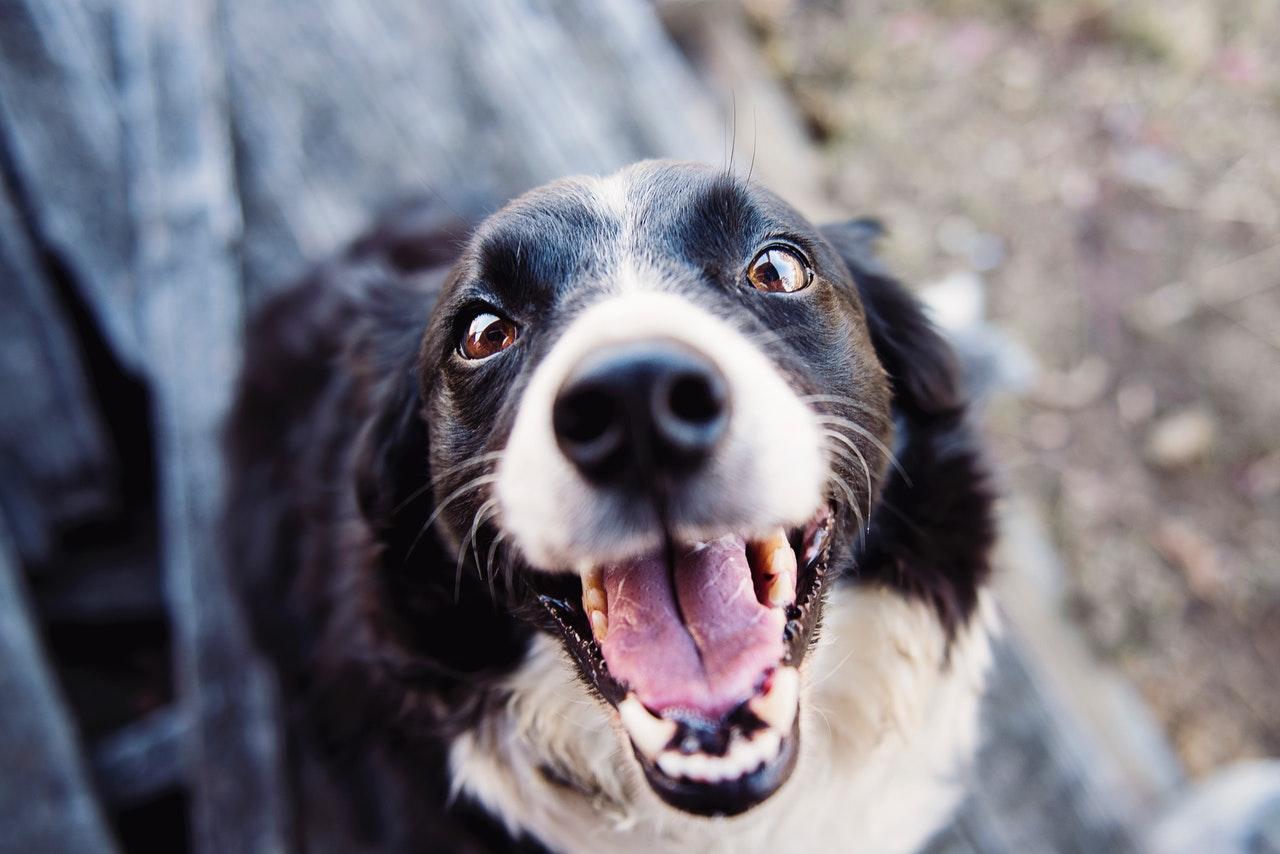 Leptospirose du chien