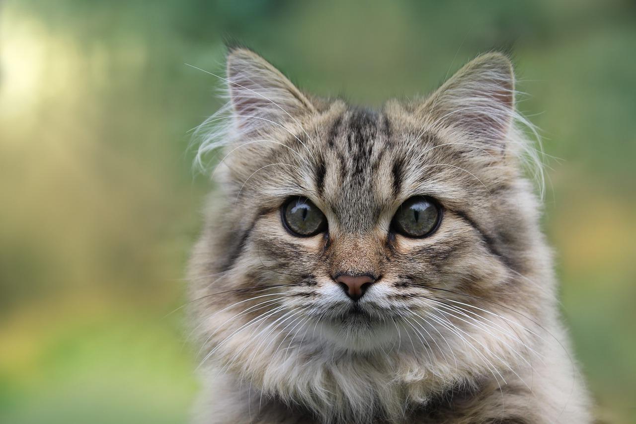 chat à poil long teigne