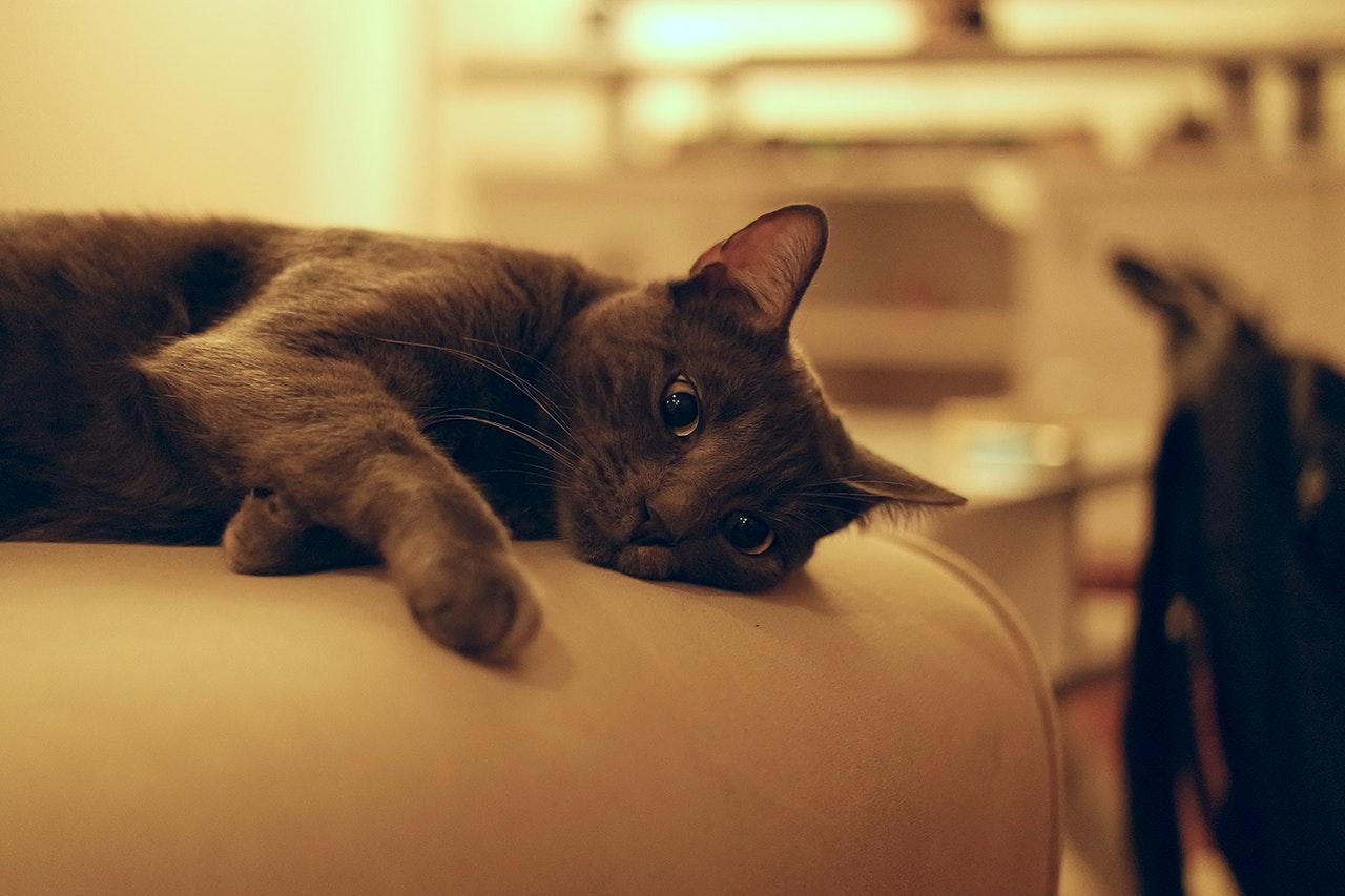 chat vétérinaire