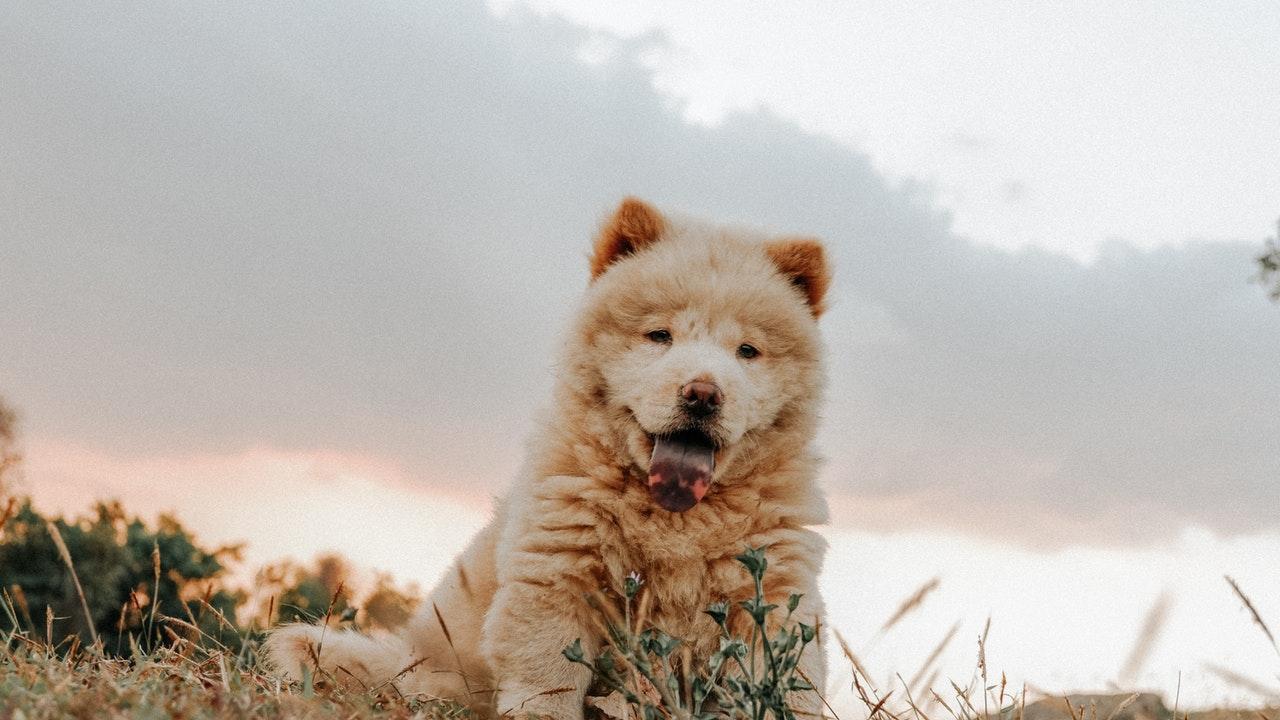 épillet chien