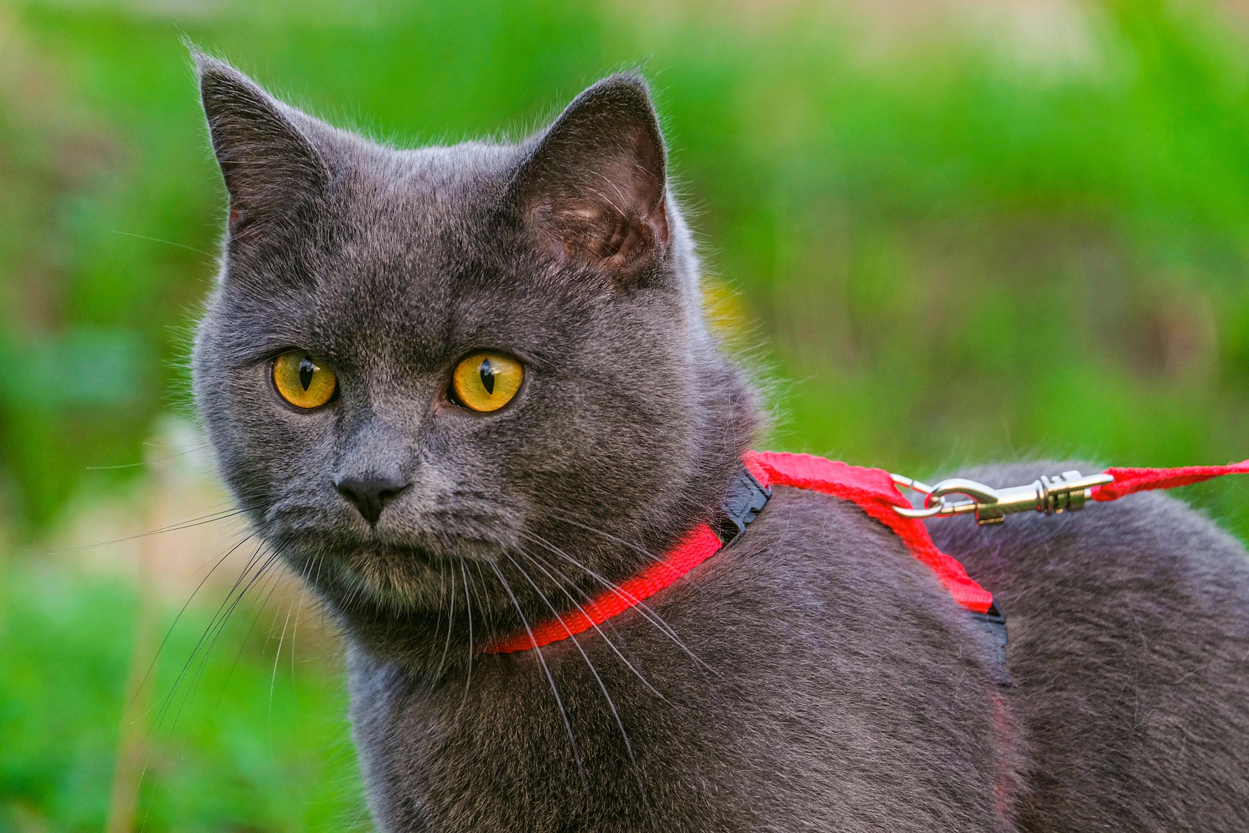 chat harnais