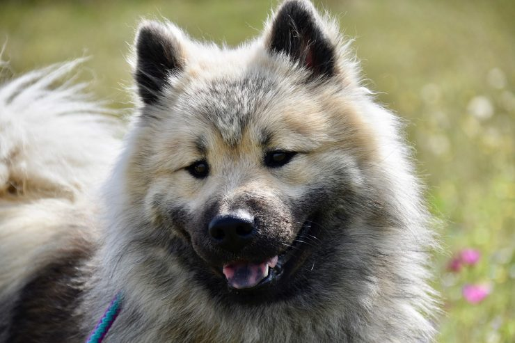 assurance chien eurasier